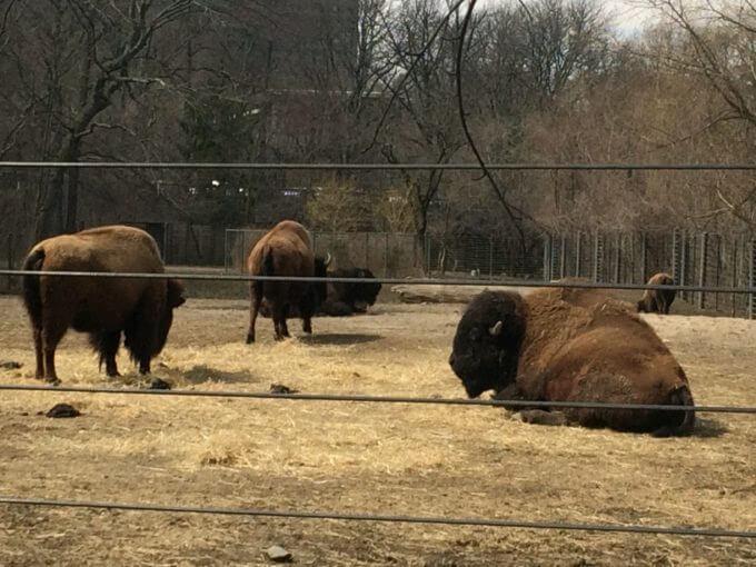 ブロンクス動物園にいたバイソン