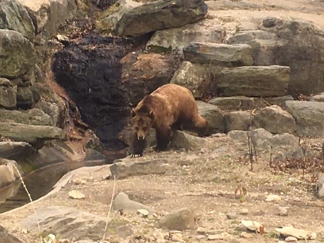 ブロンクス動物園のクマ
